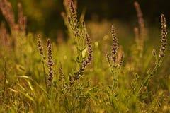 Summer grasses Royalty Free Stock Photo