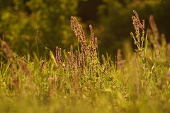 Summer grasses Royalty Free Stock Photo