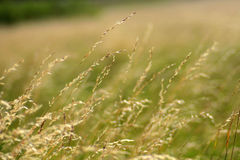 Summer grasses in the wind Royalty Free Stock Photo
