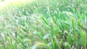 Summer grasses in the wind stock video footage