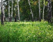 Summer green birch forest Royalty Free Stock Photo