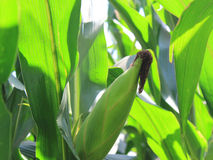 Summer green corn Royalty Free Stock Images