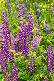 Summer green field with lupine flowers Royalty Free Stock Photos