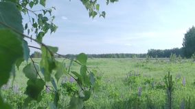 Summer green field. View through the leaves of birch. Field with blooming sally stock video footage