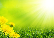 Summer green field. With yellow flowers Stock Photos
