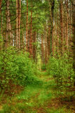 Summer green forest Royalty Free Stock Image