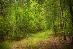 Summer green forest Stock Photography