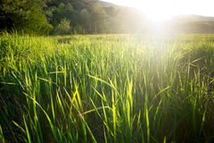 Summer green grass Royalty Free Stock Image