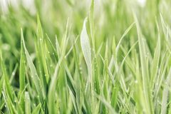 Summer green grass  covered with pure dew stock photos