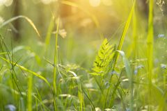 Summer green grass and plants in sunlight close-up, macro. Nature abstract background. Summer green grass and plants on meadow in sunlight close-up, macro royalty free stock images