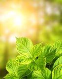 Summer green leaves Royalty Free Stock Photography
