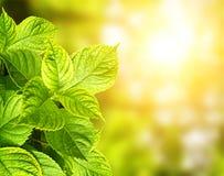 Summer green leaves Stock Image