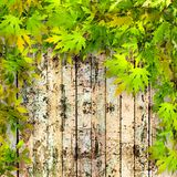 Summer green leaves on  background of painted wooden fence Stock Photos