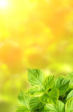 Summer green leaves of hydrangea Royalty Free Stock Images