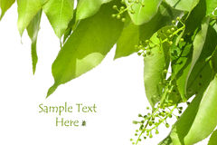 Summer green leaves isolated on white Stock Photography