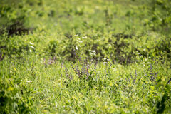 Summer green meadow with different blooming wild flowers. Fresh meadow background. Wild flowers in the beginning of summer Stock Photography