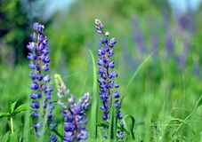 Blue lupine flowers in the meadow royalty free stock image