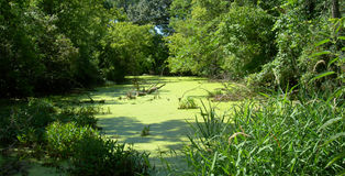 Summer Green Pond. Slimy lime green pond from the heat of the summer Stock Image