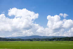Summer green rice field Royalty Free Stock Photography