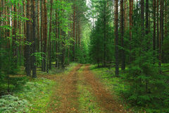 Summer green spruce forest Royalty Free Stock Photo