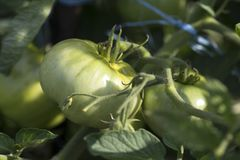 Summer green tomatoes in my garden. 2018 stock image