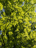Summer Green Trees Royalty Free Stock Photography
