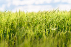 Summer Green Wheat. Close up of green wheat in summer Royalty Free Stock Image