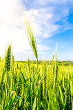 Summer green wheat Royalty Free Stock Photos