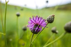 Summer green wildflowers and insects, white dandelion, strawberries, purple safflower, beautiful botany. Hot landscape royalty free stock image