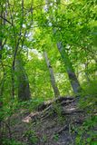 Summer greenwood, deciduous forest. Summer greenwood forest, trees in the deciduous forest in summer royalty free stock photos