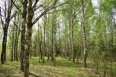 Summer grove of white-trunked birches, breaks the first grass. The trail leads through the alley of young birches stock images