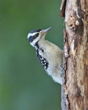 Summer Hairy Woodpecker Royalty Free Stock Image