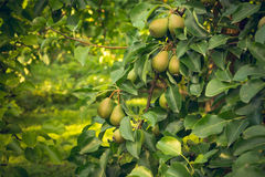 Summer harvest of pear  Duchess varieties Stock Photos