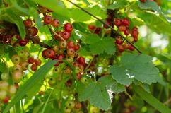 Summer harvest, red currant grows on a bush in the garden.  stock photo