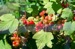 Summer harvest, red currant grows on a bush in the garden royalty free stock photo