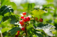 Summer harvest, red currant grows on a bush in the garden.  stock photos