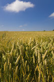 Summer Harvest Scene. Summer wheat harvest scene with blue sky and light cloud Stock Images