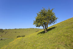 Summer hawthorn tree with buttercups Stock Photography