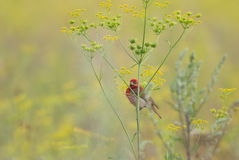 Summer haze with rosefinch Stock Images