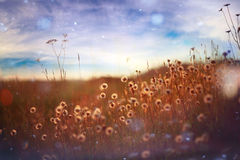 Summer heat is a field of flowers wiht sun rays Stock Photo