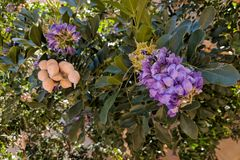 Mescal Bean or Texas Mountain Laurel. Summer heat-loving Texas Mountain Laurel Calia secundiflora, formerly Sophora secundiflora flowering at the end of Winter Stock Photos