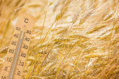 Summer heat. Thermometer in front of cereals Royalty Free Stock Image