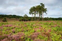 Dorset Heathland Near Wareham. Summer heather on heathland at Arne near Wareham in Dorset stock photos