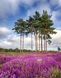 Summer Heather and Pine Trees. Scots Pine trees and bell heather (Erica cinerea) in bloom at Arne in Dorset Stock Photos