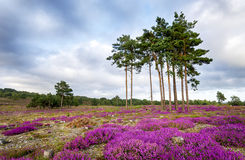 Summer Heather and Pine Trees. Scots Pine trees and bell heather (Erica cinerea) in bloom at Arne in Dorset Stock Image
