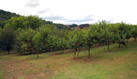 Summer hill with peach orchard Stock Photography