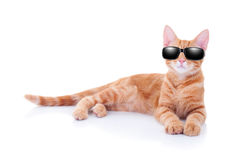 Summer Holiday Cat. Or cool party cat in sunglasses Royalty Free Stock Image