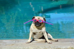 Summer holiday pug dog. A little female pug wearing pink goggles looking straight with attentive facial expression while sitting at the swimming pool in Royalty Free Stock Photography