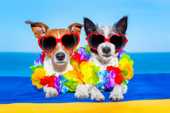 Summer  honeymoon  dogs in love. Cozy couple of dogs in love, just married ,on honeymoon summer holiday vacation at the tropical beach, wearing heart shaped Royalty Free Stock Image