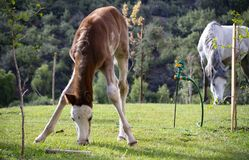 Foal with mom eating grass stock photography
